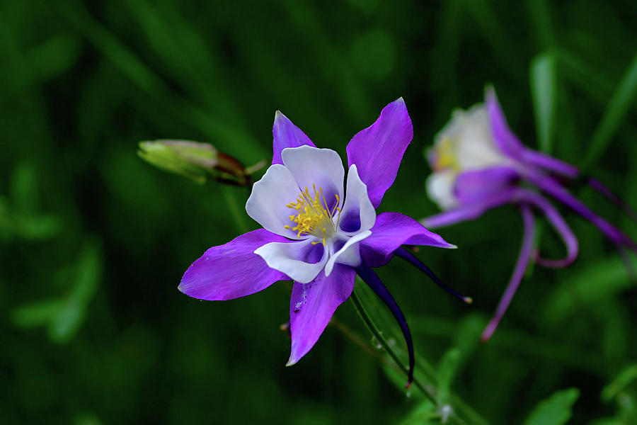 Purple Columbine by Ronnie and Frances Howard