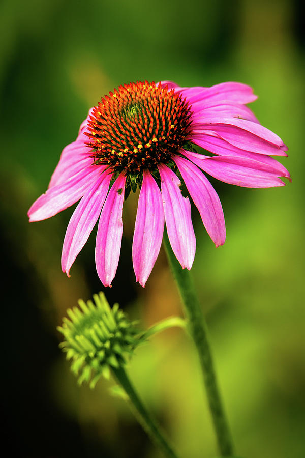 Purple Coneflower by Jeff Phillippi