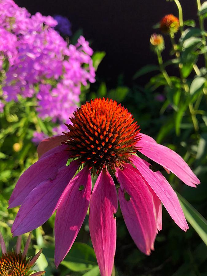 Flower Photograph - Purple Coneflower by Lukas Miller