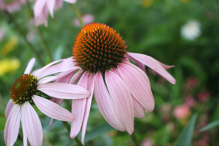 Purple Coneflower Pair by Christopher Lotito