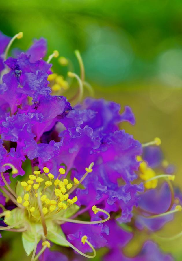 Crepe Myrtle Tree Photograph - Purple Crepe by Debra Grace Addison