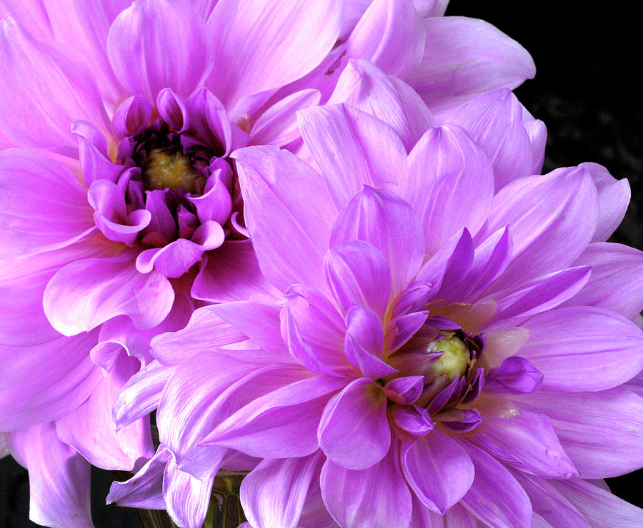 Purple Dahlia Pair by Paul W Faust - Impressions of Light
