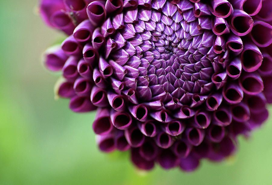 Purple Dalia Flower Photograph by C.aranega