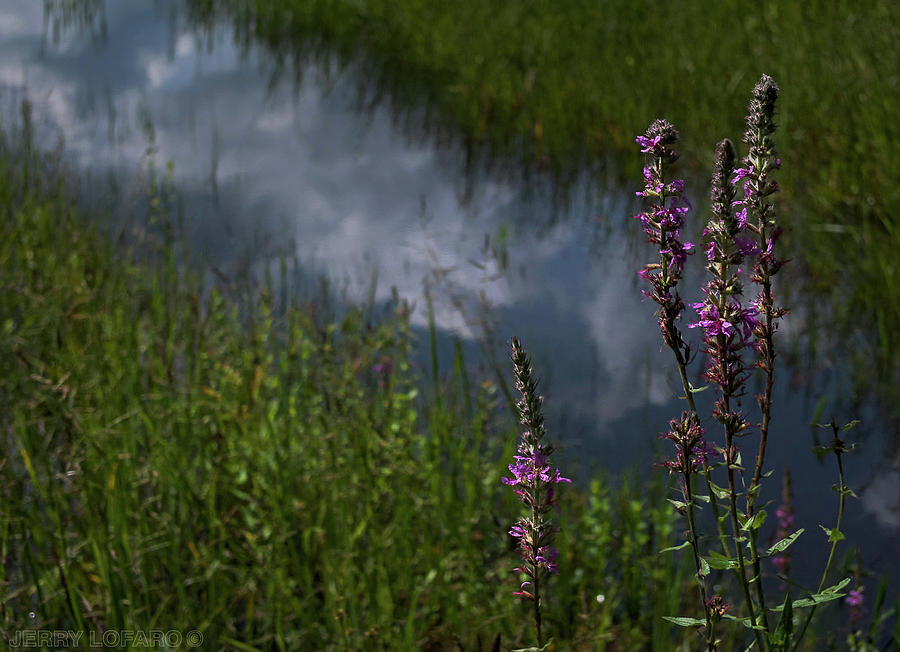 Purple Loosestrife Photograph - Purple Daydream by Jerry LoFaro