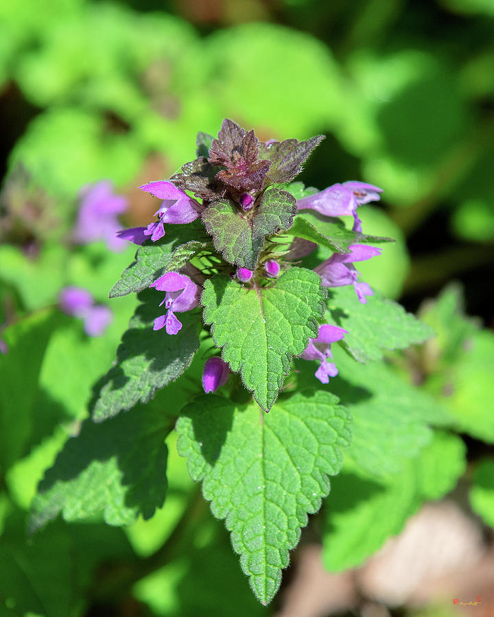 Purple Dead-nettle or Red Dead-nettle DFL0960 by Gerry Gantt