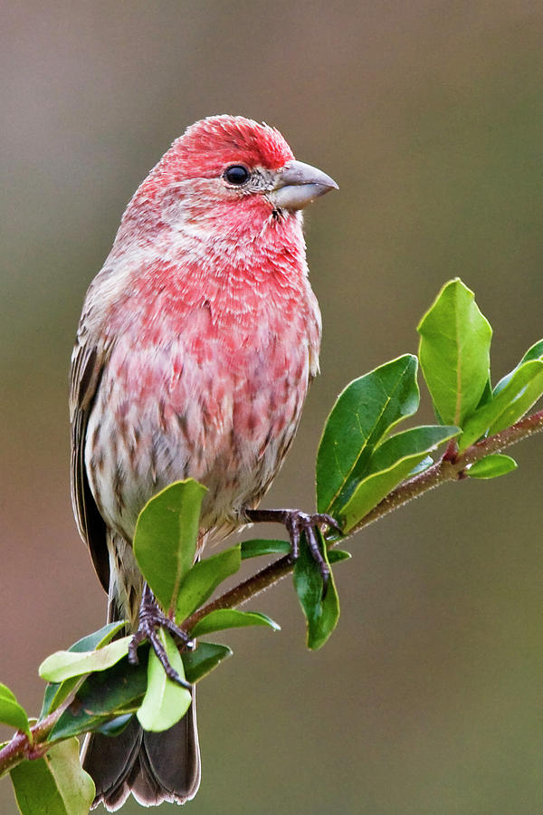 Purple Finch by Bob Decker