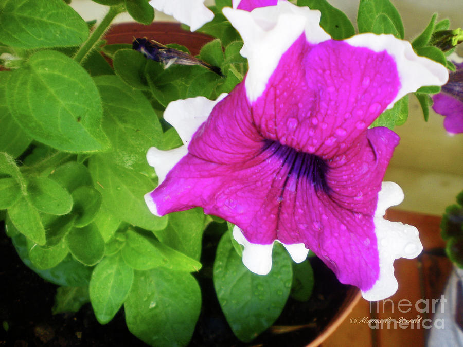 Purple Flower PR5 by Monica C Stovall