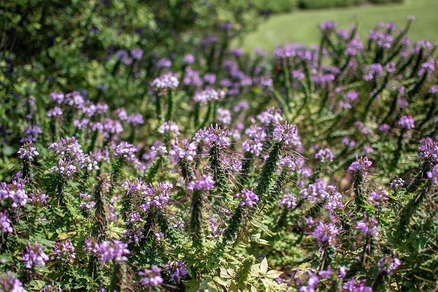 Purple Flowers  by Kelly Thackeray