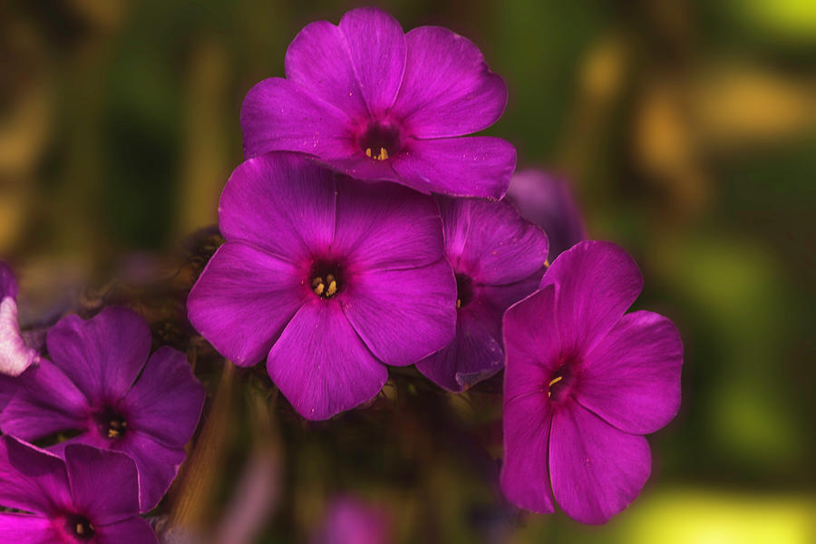 Purple Flowers of Fall by Max Huber