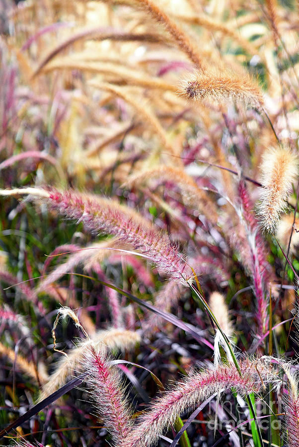 Purple Fountain Grass Photograph By Pamela Kelso