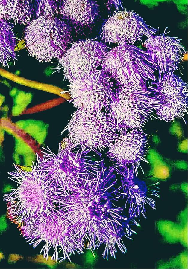 Purple Fur Photograph