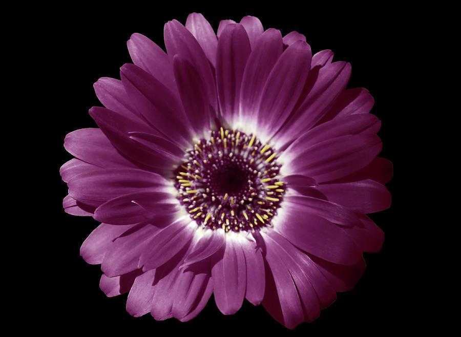 Purple Gerbera Beauty by Johanna Hurmerinta