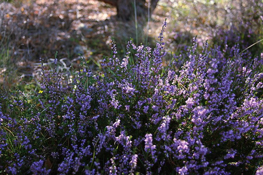 Purple Heather by Sannel Larson