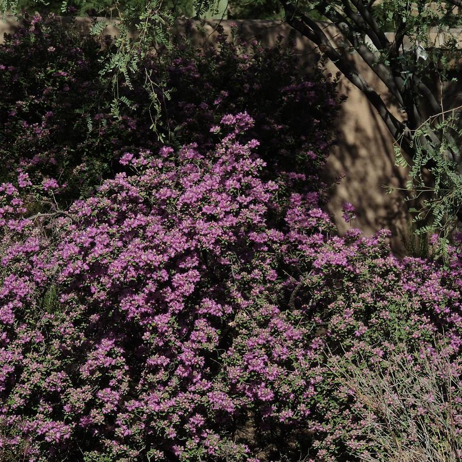 Purple in the Desert by Bill Tomsa