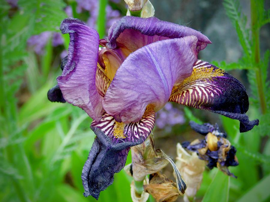Purple Iris by Dan Miller
