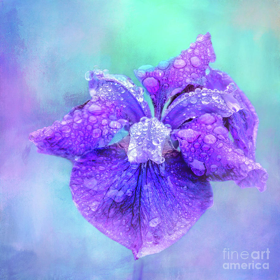 Purple Iris Decorated with Raindrops by Anita Pollak