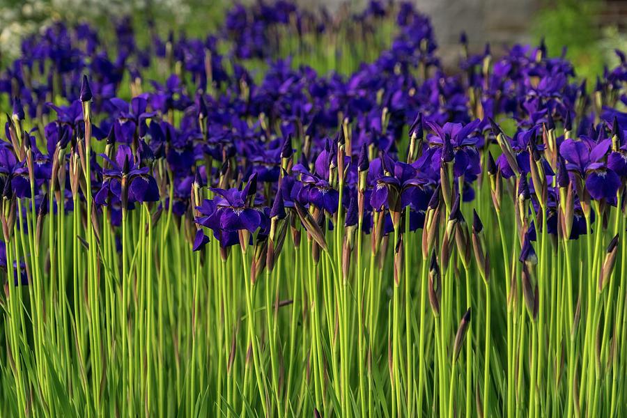 Purple Iris Garden - Biophilic Spring Riot by Georgia Mizuleva