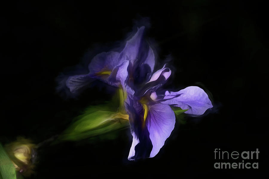 Purple Iris by Kathy Baccari
