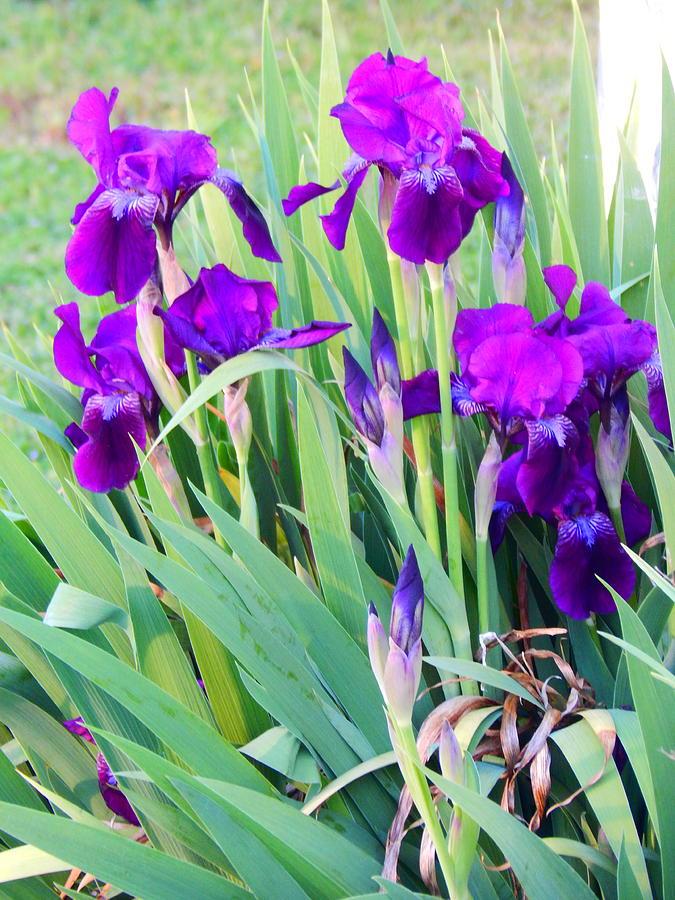 purple irises by Virginia Kay White
