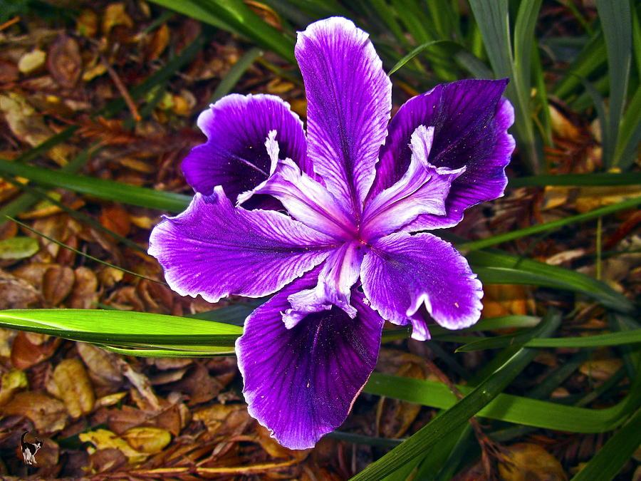 Purple Lily by Joyce Dickens