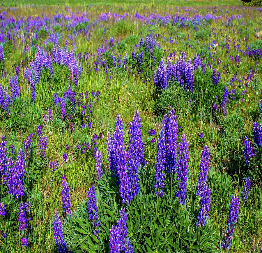 Lupine Photograph - Purple Lupine  by Cathy Anderson