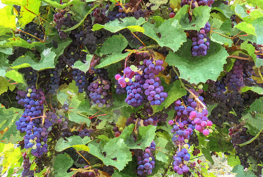 Purple Muscadine Grapevine Painted II by Sandi OReilly