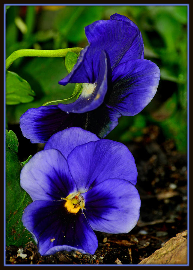 Purple Pansies Photograph