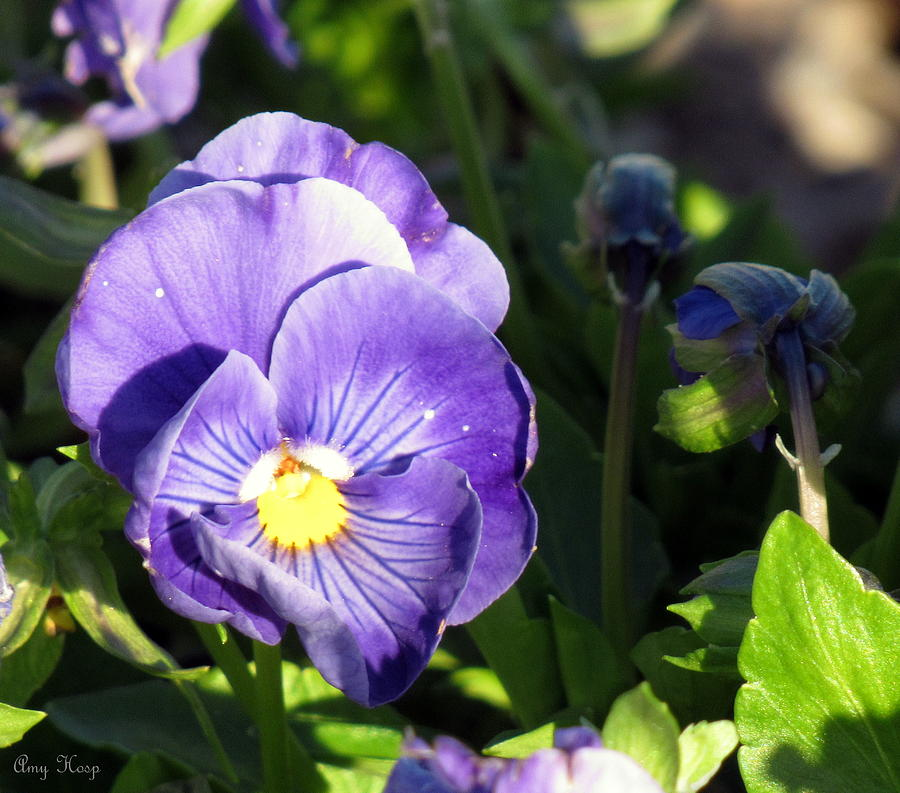 Purple Pansy by Amy Hosp