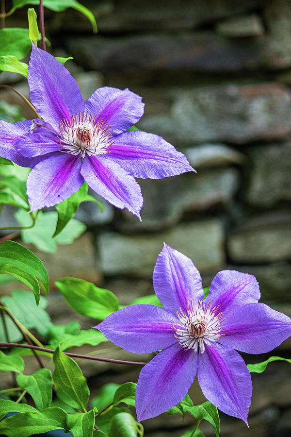 Purple Perfection Photograph