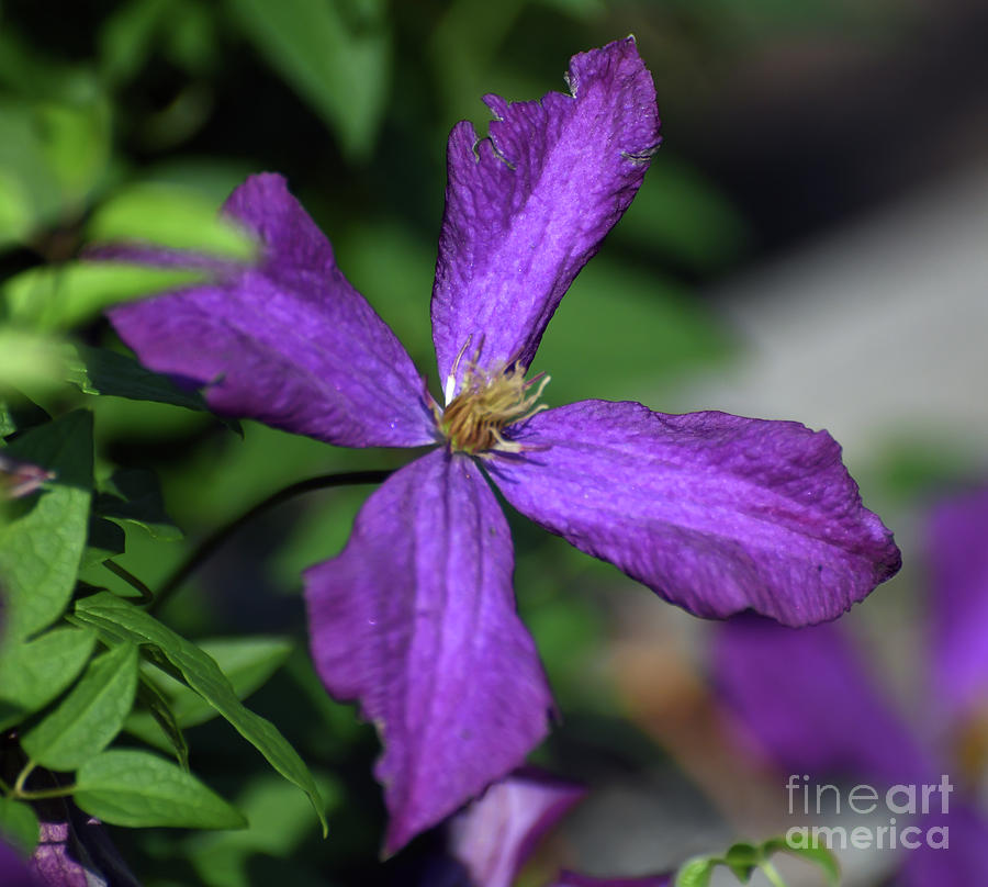Purple Petals - Clematis in Bloom by Kerri Farley