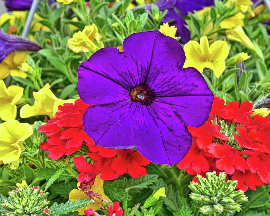 Purple Petunia Photograph