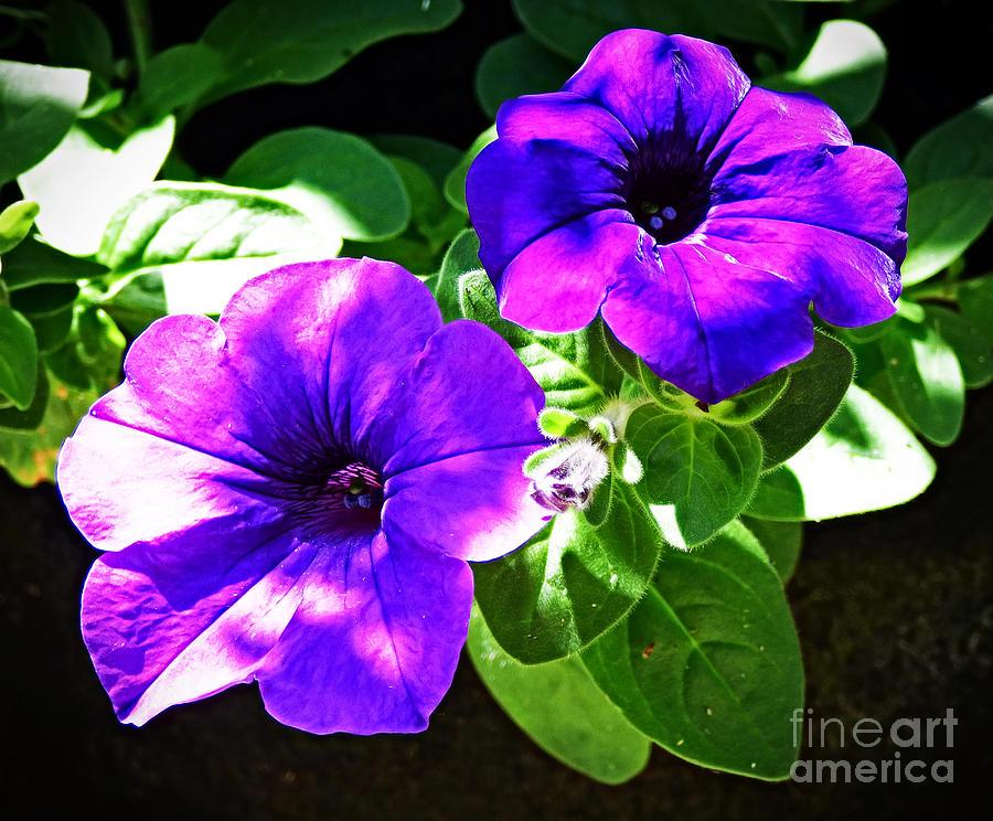 Purple Petunias by Trudee Hunter