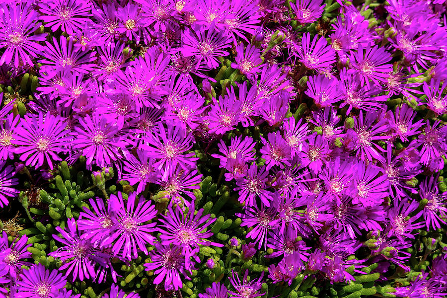 Purple Pop by Robert Blandy Jr