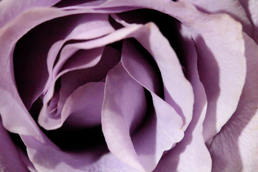 Purple Rose Abstract 2 by Angela Murdock