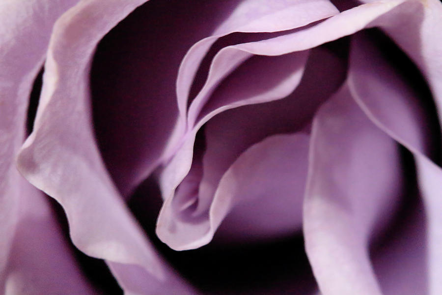 Purple Rose Abstract 3 by Angela Murdock