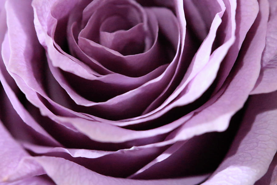 Purple Rose Abstract by Angela Murdock