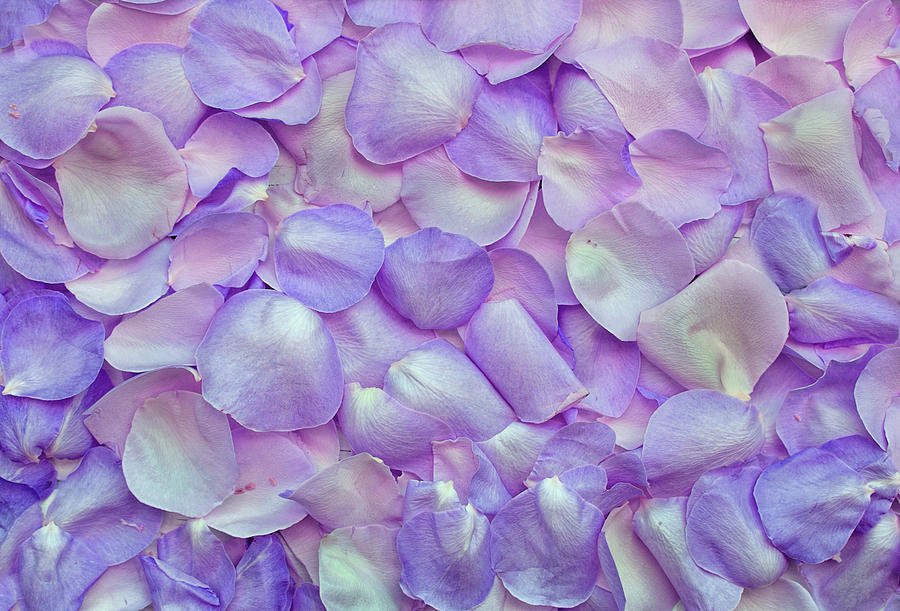 Purple Rose Flowers by Top Wallpapers