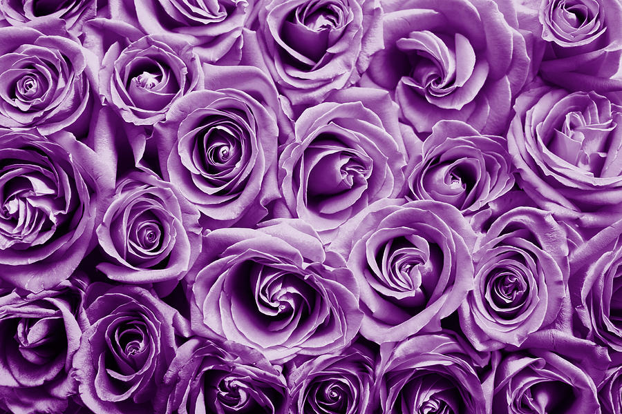 Purple roses  by Top Wallpapers