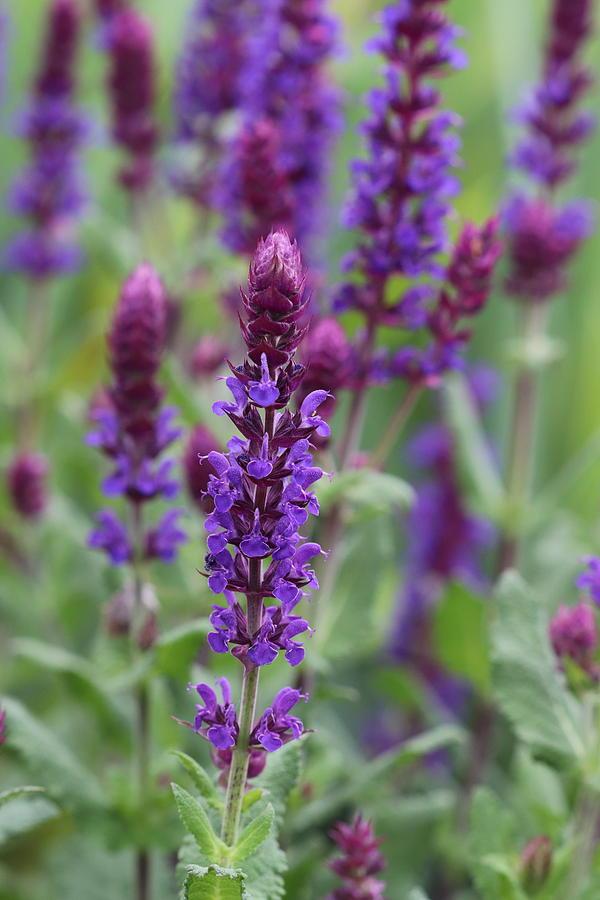 Purple Salvia by TJ Fox