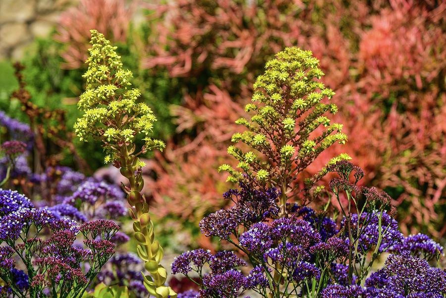 Purple Statice and Yellow Flowering Aeonium Arboreum 1 by Linda Brody