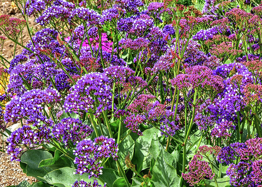 Purple Statice Flowers 1 by Linda Brody