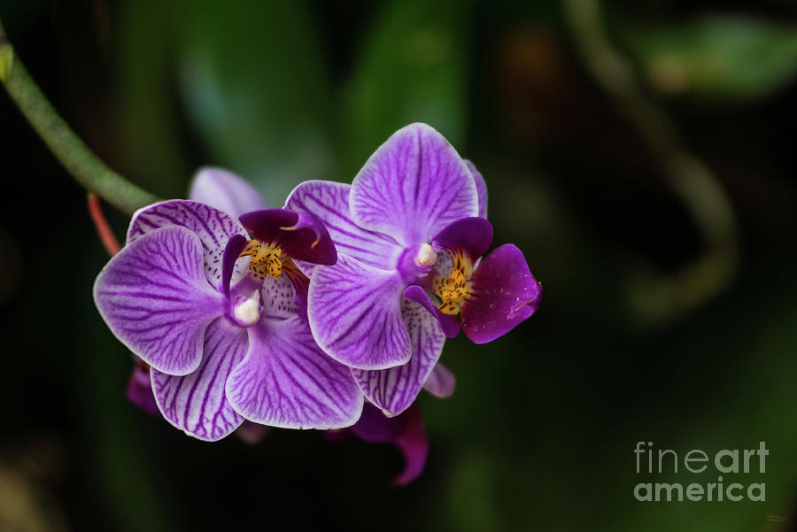 Purple Striped Phalaenopsis by Jennifer White