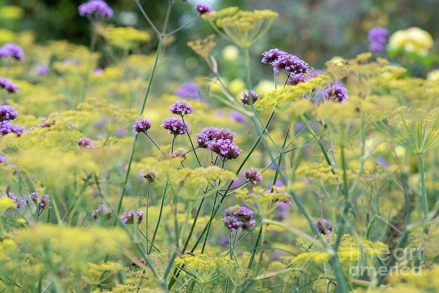 Verbena Bonariensis Photograph - Purple Top Vervain And Bronze Fennel by Tim Gainey
