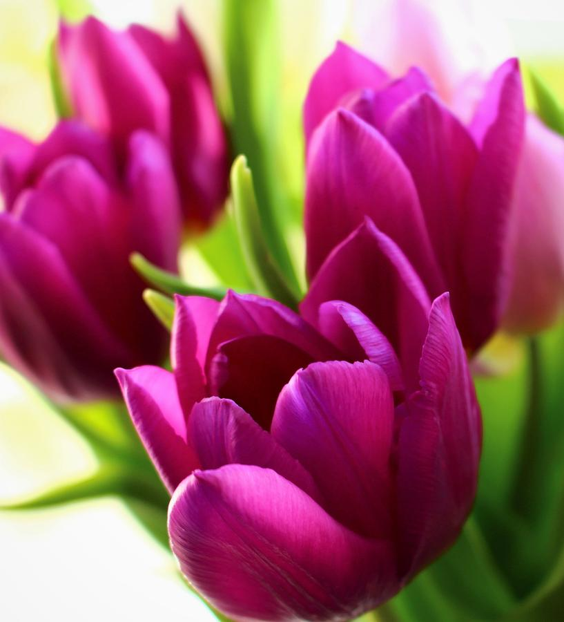 Purple Tulip Tribe by Loretta S