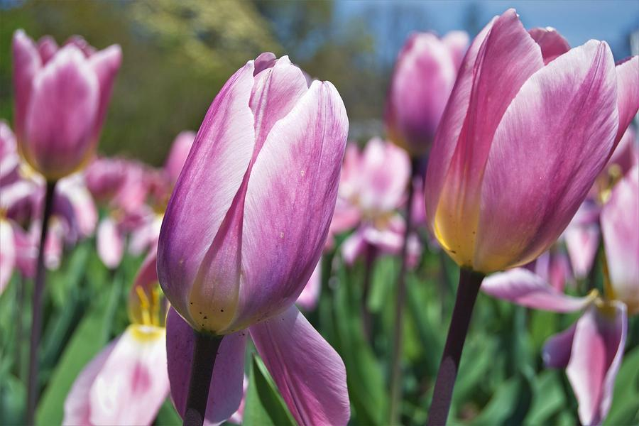 Purple Tulips by Charles HALL