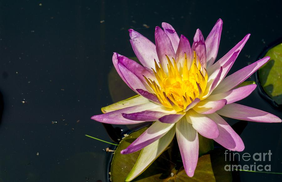 Purple Water Lilie by Annerose Walz