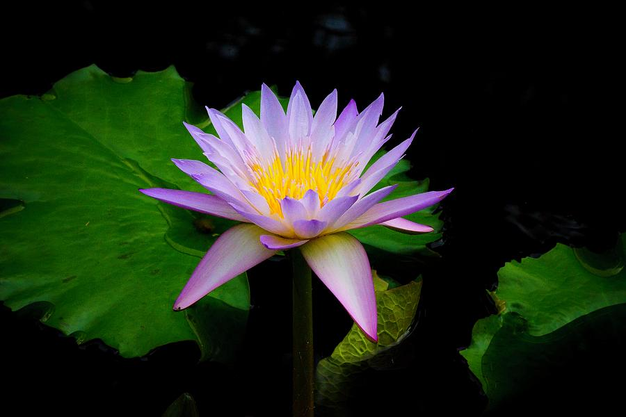Purple Water Lily by Catherine Trevor-Roberts