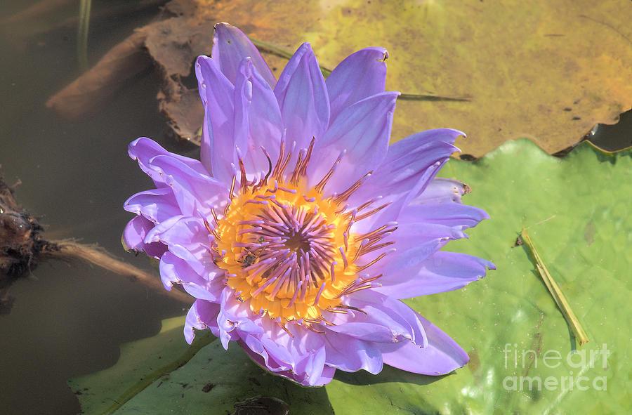 Purple Waterlily by Steve Edwards