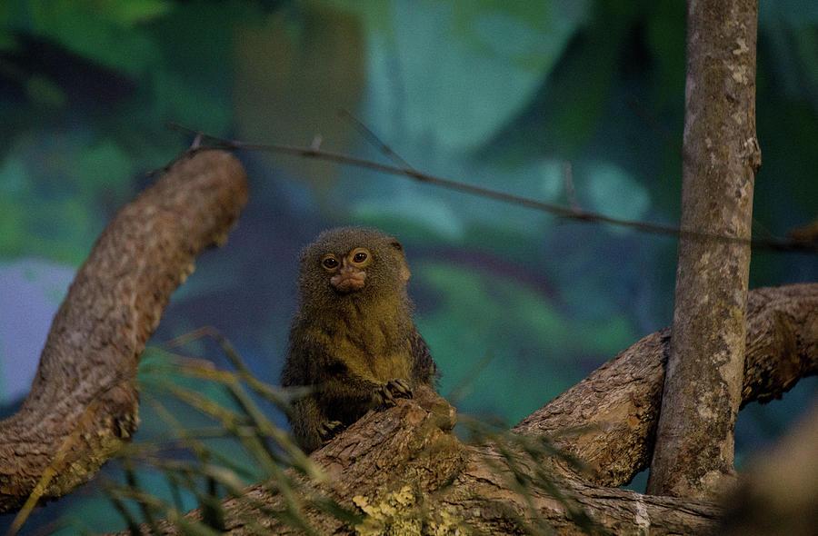 Pygmy Marmoset by Linda Howes