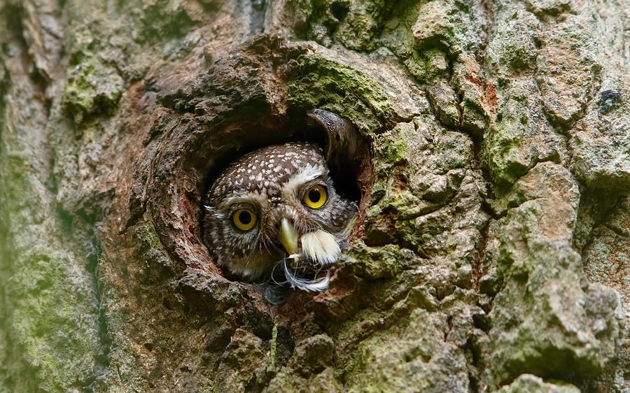 Wild Photograph - Pygmy Owl , Ex Bird & A Snail ... by Assaf Gavra